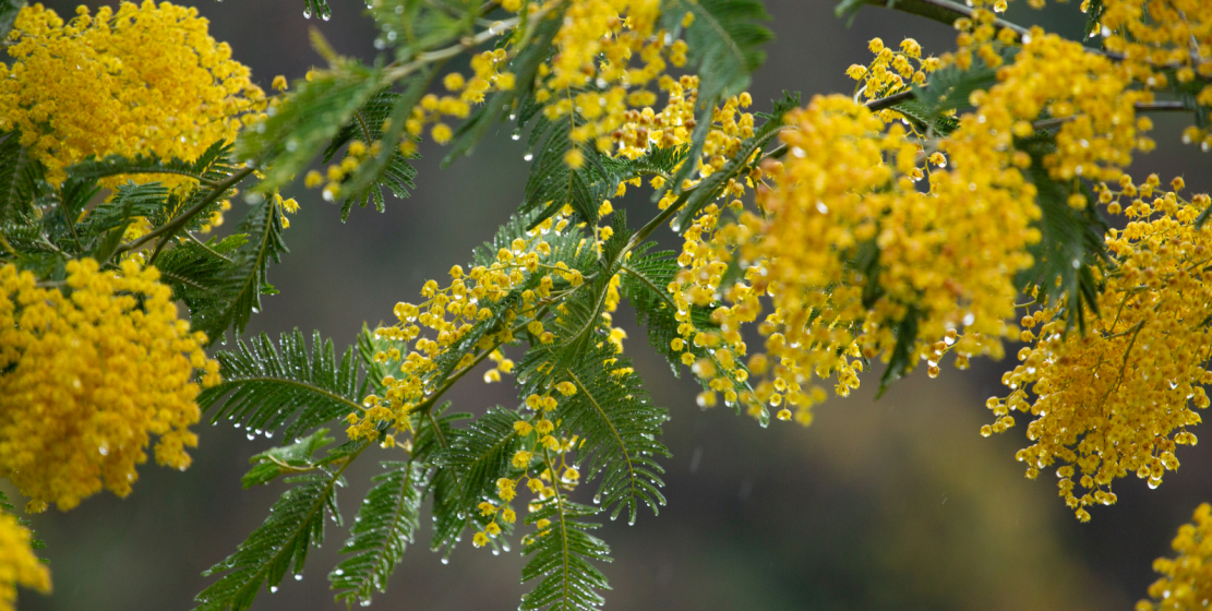 Queen of the spring - mimosa.